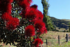 Red flowers on a tree in a field. Pohutukawa red flowers on a tree in a field Royalty Free Stock Photo