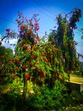 Red flowers tree standing in a garden royalty free stock image