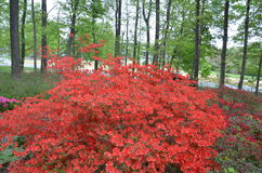 Red flowers and trees. Bush with red flowers and tall trees Royalty Free Stock Photos