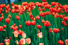 Red Flowers Tulips In Spring Garden Flower Bed Background Royalty Free Stock Photo