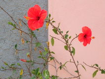 Red flowers. Two red flowers with some leaves with a grey and pink wall on the background Royalty Free Stock Image