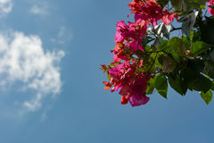 Red flowers under blue sky. With little cloud Royalty Free Stock Photo