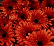 Red flowers use for background. Texture stock photography