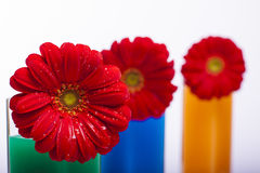 Red flowers in vases Stock Photo