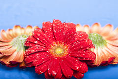 Red flowers with water drops Stock Photography