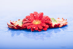 Red flowers with water drops Royalty Free Stock Photography