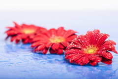 Red flowers with water drops Stock Images