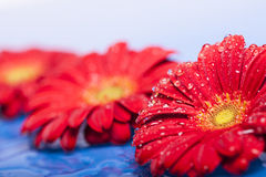 Red flowers with water drops Royalty Free Stock Photos