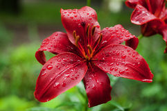 Red flowers with waterdrops royalty free stock photo