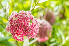 Red flowers, Wax plant, Hoya ovalifolia Wight & Arn. In soft blurred style, among bright sunlight, on green leaves blur background royalty free stock images