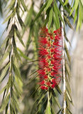 Red flowers of the Weeping Willow tree in Cuban countryside Stock Photos