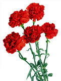 Red Flowers. 5 Red Flowers on White background Royalty Free Stock Images