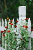 Red flowers on white fence. Red flowers blooming on white picket garden fence Royalty Free Stock Image