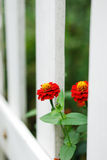 Red flowers and white fence. Blooming red flowers in gap of white picket fence Stock Photography
