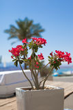 Red flowers. In white stone pot in relax zone Royalty Free Stock Photography