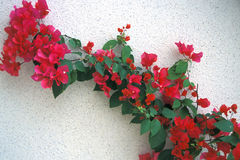 Red Flowers on White Wall. Red flowers grow diagonally on a white wall Stock Photo