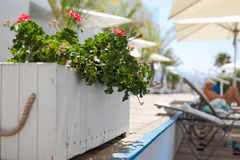 Red flowers. In white wooden pot in relax zone Royalty Free Stock Photography