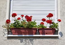 Red flowers in the window Royalty Free Stock Photos