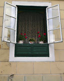 Red Flowers in Window, Zagreb Croatia. Open window with lace curtains of a beige/khaki and green building with red geranium flowers on the window sill in three Royalty Free Stock Image
