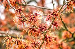 Red flowers of a witch-hazel. Close-up of several red flowers of a witch hazel hamamelis on a sunny day in winter stock images
