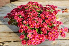 Red Flowers on wooden table waiting for collection for the church royalty free stock photo
