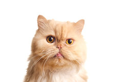 Red fluffy cat. Royalty Free Stock Images