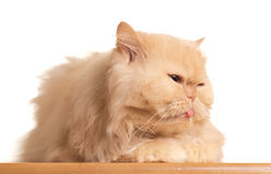 Red fluffy cat. Stock Photography