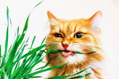 Red fluffy cat eats grass on white background. Selective focus, toned Royalty Free Stock Image