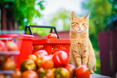 Red fluffy cat Stock Photography