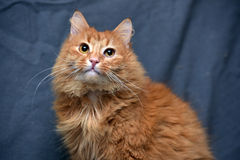 Red fluffy cat Royalty Free Stock Image