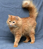 Red fluffy cat Stock Photo