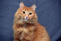 Red fluffy cat Royalty Free Stock Photos
