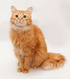 Red fluffy cat with green eyes sitting on gray Royalty Free Stock Image