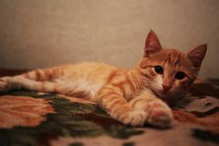 Red fluffy cat lies on the back of the sofa. stock images