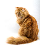 Red fluffy cat with orange eyes Stock Images