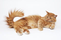 The red fluffy cat plays with the tail. Ginger cat, pets, lying down Royalty Free Stock Photos
