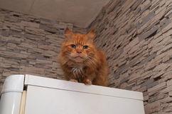 Red fluffy cat sits on refrigerator Royalty Free Stock Images
