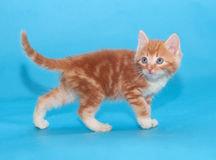 Red fluffy cat sneaks up on blue. Background Royalty Free Stock Image