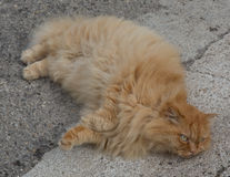 Red fluffy cat Royalty Free Stock Images