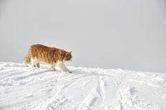 Red fluffy cat at top of the snow-covered mountain Stock Photos