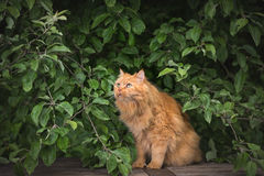 Red fluffy cat in tree branches Royalty Free Stock Image