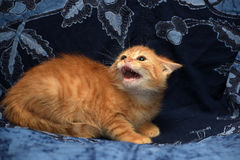 Red fluffy kitten angry and hissing royalty free stock photography