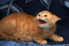 Red fluffy kitten angry and hissing stock image