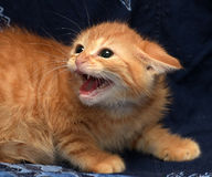 Red fluffy kitten angry and hissing Stock Photos