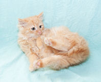 Red fluffy kitten fell on his back Royalty Free Stock Photo