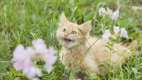 Red fluffy kitten on the green grass meows. stock photos