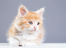 Red fluffy kitten Royalty Free Stock Images