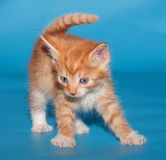 Red fluffy kitten scared on blue Stock Image