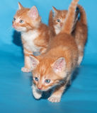 Red fluffy kittens go on blue Stock Photos