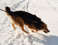 Red fluffy mongrel dog running on snow Stock Image